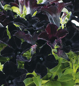Crazytunia® Black Mamba - Petunia hybrid