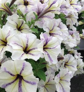 Crazytunia® Cloud 9 - Petunia hybrid