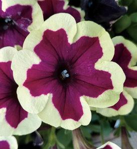 Crazytunia® French Kiss - Petunia hybrid