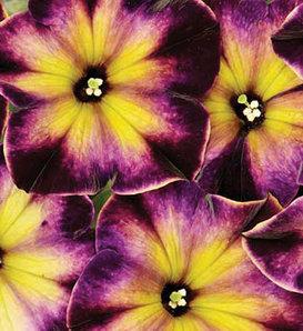 Crazytunia® Moonstruck - Petunia hybrid
