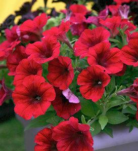 Crazytunia® Red Blues - Petunia hybrid