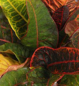 Excelente - Rushfoil - Croton species