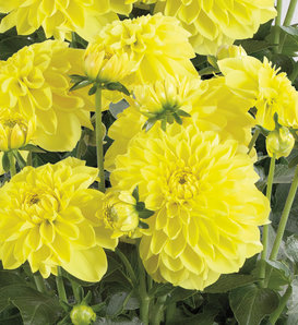 Dalina® Grande Sonora - Dahlia hybrid