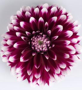 Dalina® Grande Cancun - Dahlia hybrid