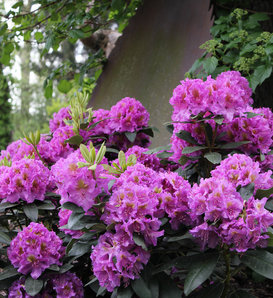Dandy Man® Purple - Rhododendron x