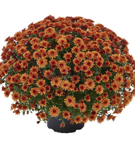 Morgana Orange Garden Mum - Chrysanthemum grandiflorum