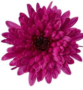 Morgana Purple Garden Mum - Chrysanthemum grandiflorum