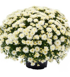 Morgana White Garden Mum - Chrysanthemum grandiflorum
