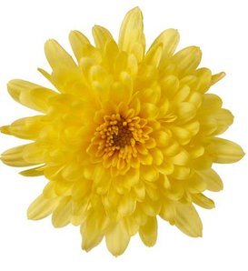 Morgana Yellow Garden Mum - Chrysanthemum grandiflorum
