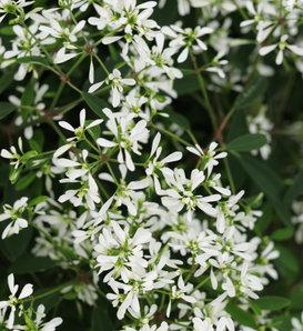 Diamond Snow® - Euphorbia hybrid