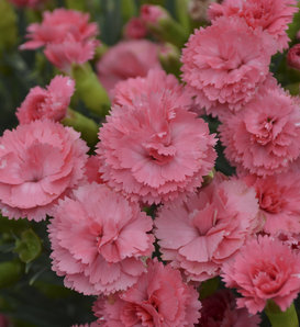 Fruit Punch® 'Classic Coral' - Pinks - Dianthus hybrid