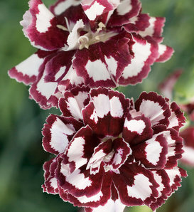 Fruit Punch® 'Coconut Punch' - Pinks - Dianthus hybrid