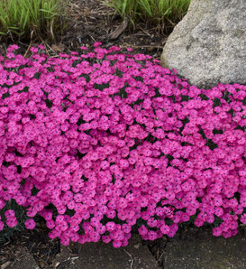 'Paint the Town Magenta' - Pinks - Dianthus hybrid