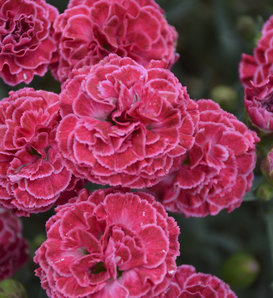 Fruit Punch® 'Raspberry Ruffles' - Pinks - Dianthus hybrid