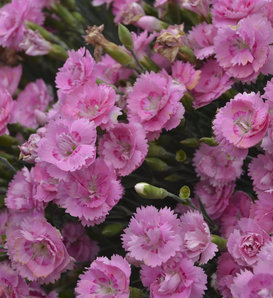Fruit Punch® 'Sweetie Pie' - Pinks - Dianthus hybrid