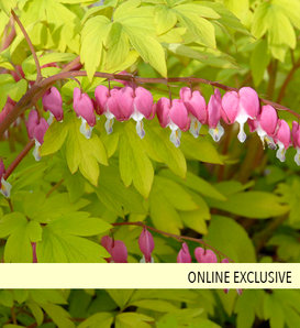 'Gold Heart' - Old Fashioned Bleeding Heart - Dicentra spectabilis