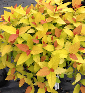 Double Play® Candy Corn® - Spirea - Spiraea japonica