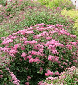 Double Play® Pink - Spirea - Spiraea japonica