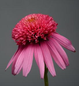 Double Scoop™ Bubble Gum - Coneflower - Echinacea hybrid