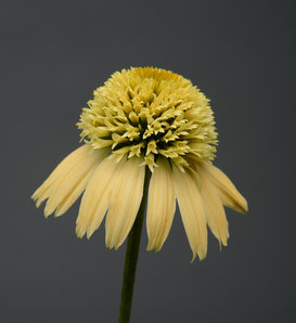 Double Scoop™ Lemon Cream - Coneflower - Echinacea hybrid