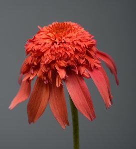 Double Scoop™ Mandarin - Coneflower - Echinacea hybrid