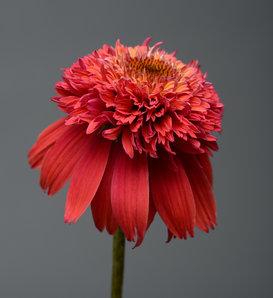 Double Scoop™ Orangeberry - Coneflower - Echinacea hybrid