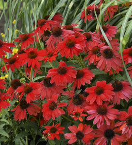 Sombrero® Salsa Red - Coneflower - Echinacea hybrid