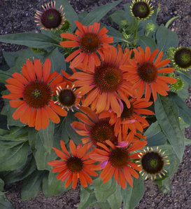 Eye-Catcher™ Atomic Orange - Coneflower - Echinacea purpurea