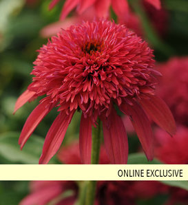 Double Scoop™ Cranberry - Coneflower - Echinacea hybrid