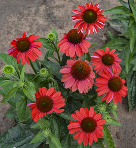 Color Coded™ 'Frankly Scarlet' - Coneflower - Echinacea hybrid