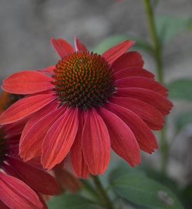 Color Coded® 'Frankly Scarlet' - Coneflower - Echinacea hybrid