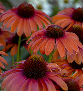 Color Coded® 'Orange You Awesome' - Coneflower - Echinacea hybrid
