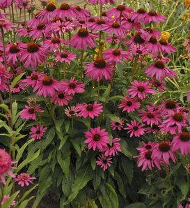 Butterfly 'Purple Emperor' - Coneflower - Echinacea hybrid