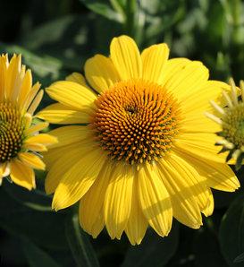 Sombrero® Lemon Yellow Improved - Coneflower - Echinacea hybrid