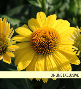 Sombrero® Lemon Yellow Improved - Coneflower - Echinacea hybrid