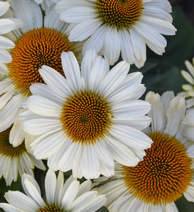 Eye-Catcher™ Swan Song - Coneflower - Echinacea hybrid