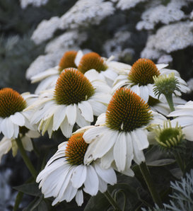 Color Coded™ 'The Price is White' - Coneflower - Echinacea hybrid