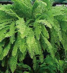 Emerald Vase - Boston Fern - Nephrolepis exaltata