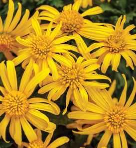 High Noon™ - Bush Daisy - Euryops pectinatus