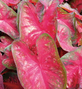 Heart to Heart® Fast Flash™ - Sun or Shade Caladium - Caladium hortulanum
