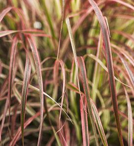 Graceful Grasses® 'Fireworks' - Variegated Red Fountain Grass - Pennisetum setaceum 'Rubrum'