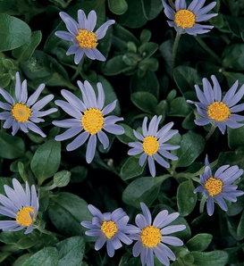 Forever Blue - Blue Felicia Daisy - Felicia hybrid