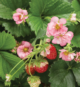 Berried Treasure® Pink - Strawberry - Fragaria ananassa