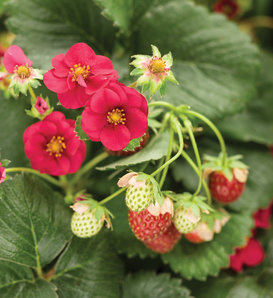 Berried Treasure® Red - Strawberry - Fragaria ananassa