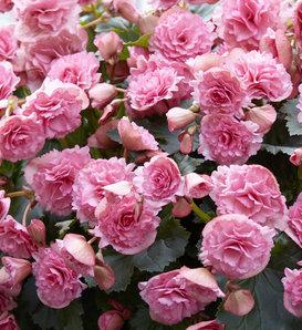 Frivola Pink - Rieger Begonia - Begonia x hiemalis