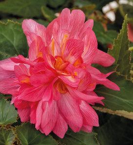 Funky® Pink - Begonia x hybrida
