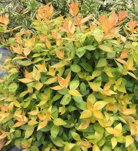 Funshine® - Abelia grandiflora