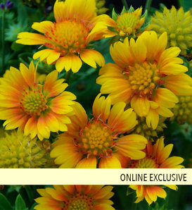 Arizona Apricot - Blanket Flower - Gaillardia aristata