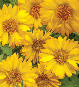 Heat it Up® Yellow - Blanket Flower - Gaillardia hybrid
