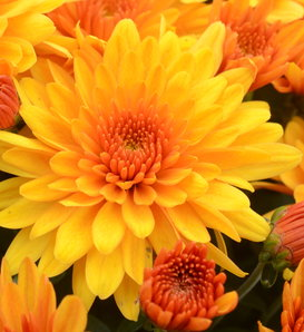 Fireglow Bronze Garden Mum - Chrysanthemum grandiflorum